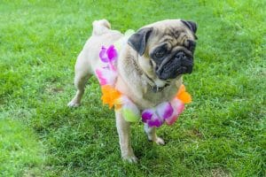 This pug is ready to party