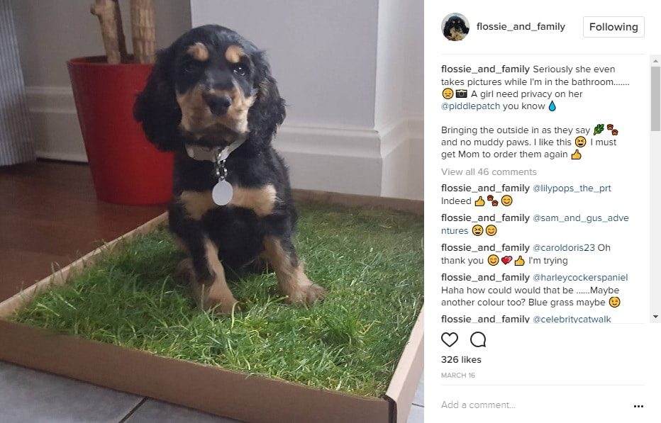 A screenshot of an instagram feed. The photo is of a black and tan spaniel puppy sitting on a fresh grass dog toilet.