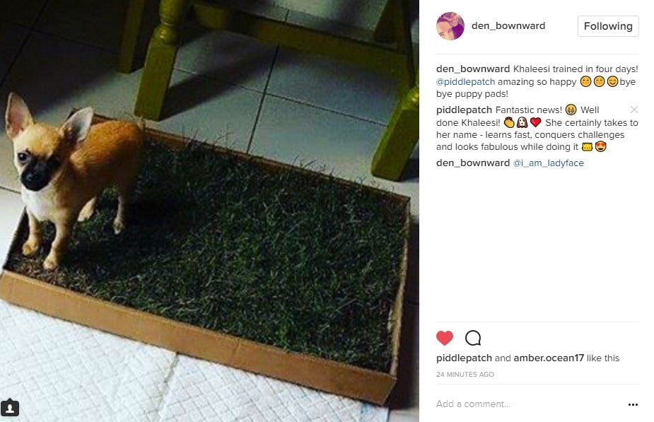 Instagram screenshot showing a chihuahua on a fresh grass dog toilet.