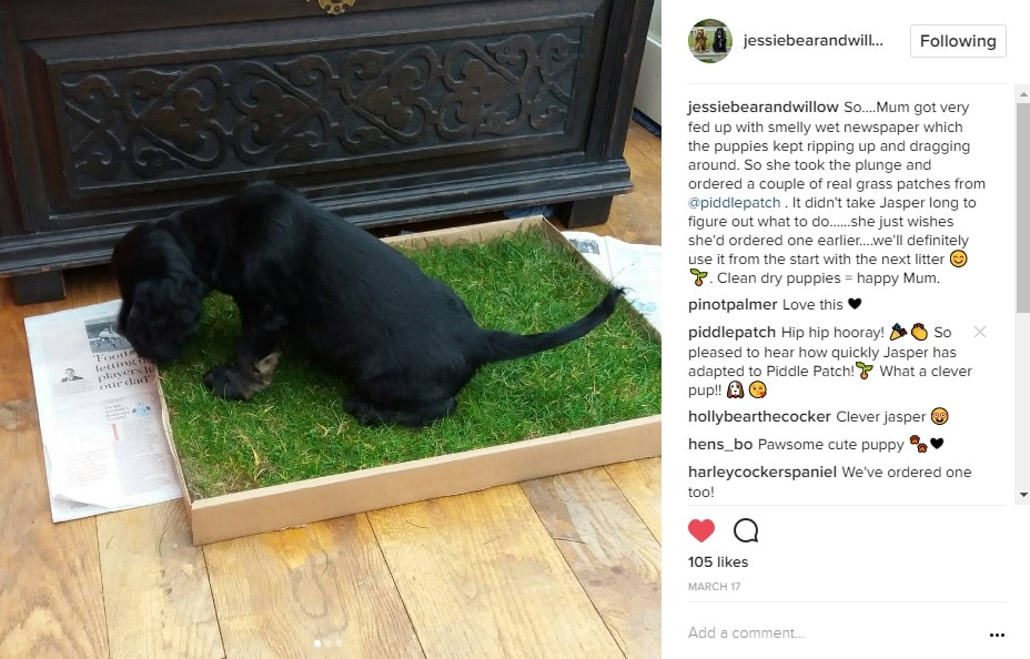 A screenshot of Instagram which shows a black puppy urinating on Piddle Patch.