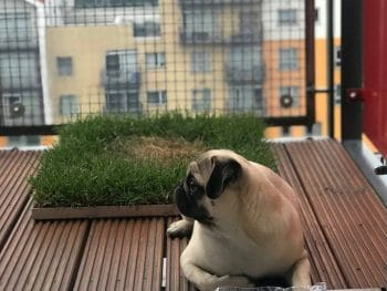 Creating a fresh grass dog toilet on the balcony.
