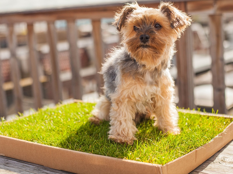 photo of terrier dog using a fresh grass dog toilet