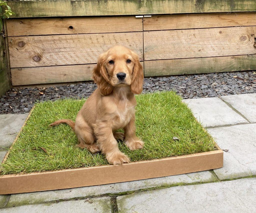 Puppy using a fresh grass dog toilet