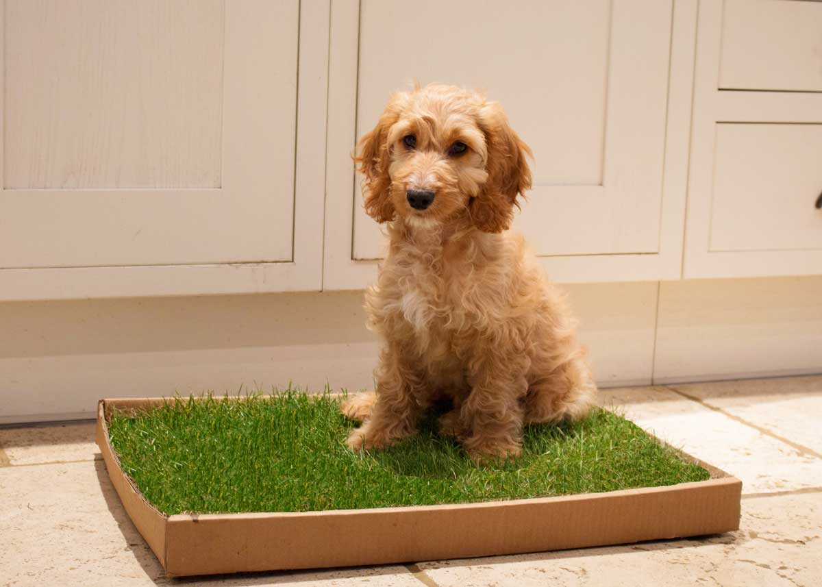 Puppy using fresh grass dog toilet